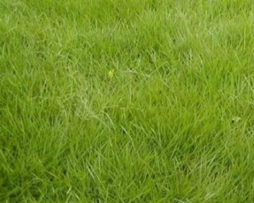 grama-coreana-curitiba-grama-para-jardinagem-curitiba