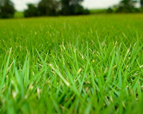 grama-esmeralda-curitiba-grama-para-jardinagem-curitiba
